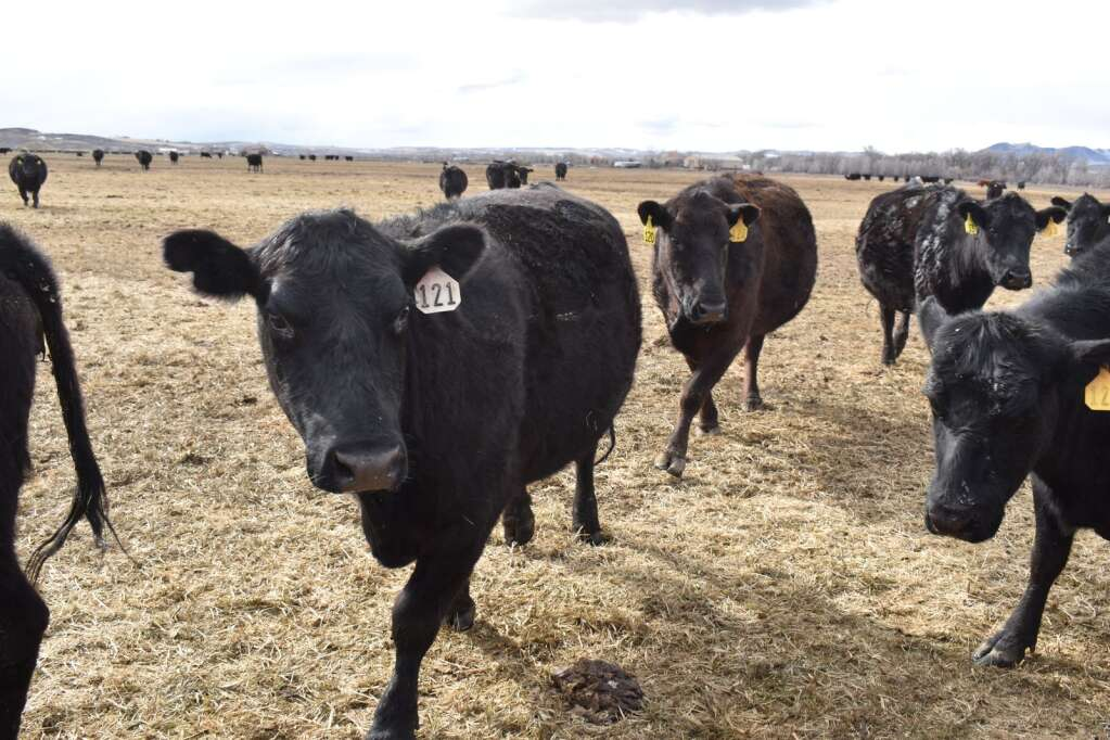Cows come running to feed Tuesday on the wetlands at the Camilletti ranch. (Joshua Carney / Craig Press)