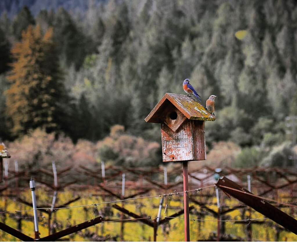 The birds at Spotswoode vineyards