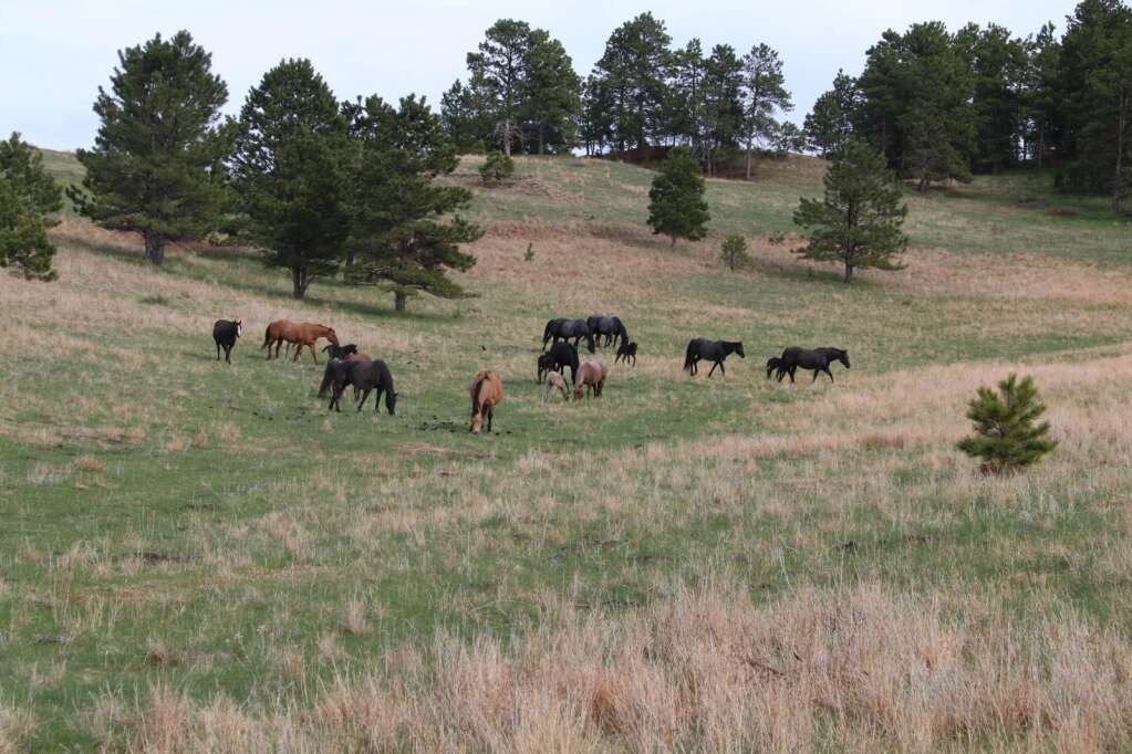 Surrounded by the beauty of the Pine Ridge east of Chadron, mares and colts belonging to John and Sheri Grint and their daughters are content as they graze.   Nine of the first 10 colts born this spring were immediately sold to horse lovers as far away as New York and California.  The Grints plan to retain the 10th colt as a stallion.  Several more colts were born after this photo was taken. Photos courtesy Grint family