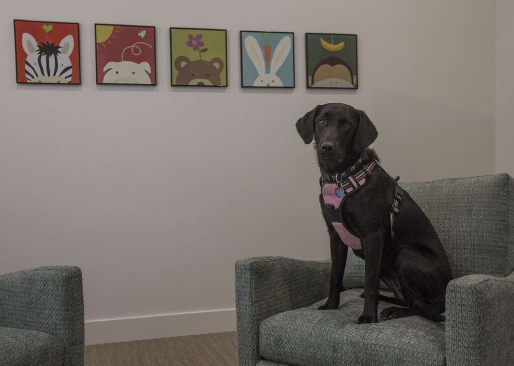 The Children's Justice Center has been remodeled since the initial acquisition of the property in the fall of 2018. In this image, Cali, an 18-month-old black lab therapy dog, sits on a chair in one of the counseling rooms at the Center. (Tanzi Propst/Park Record)