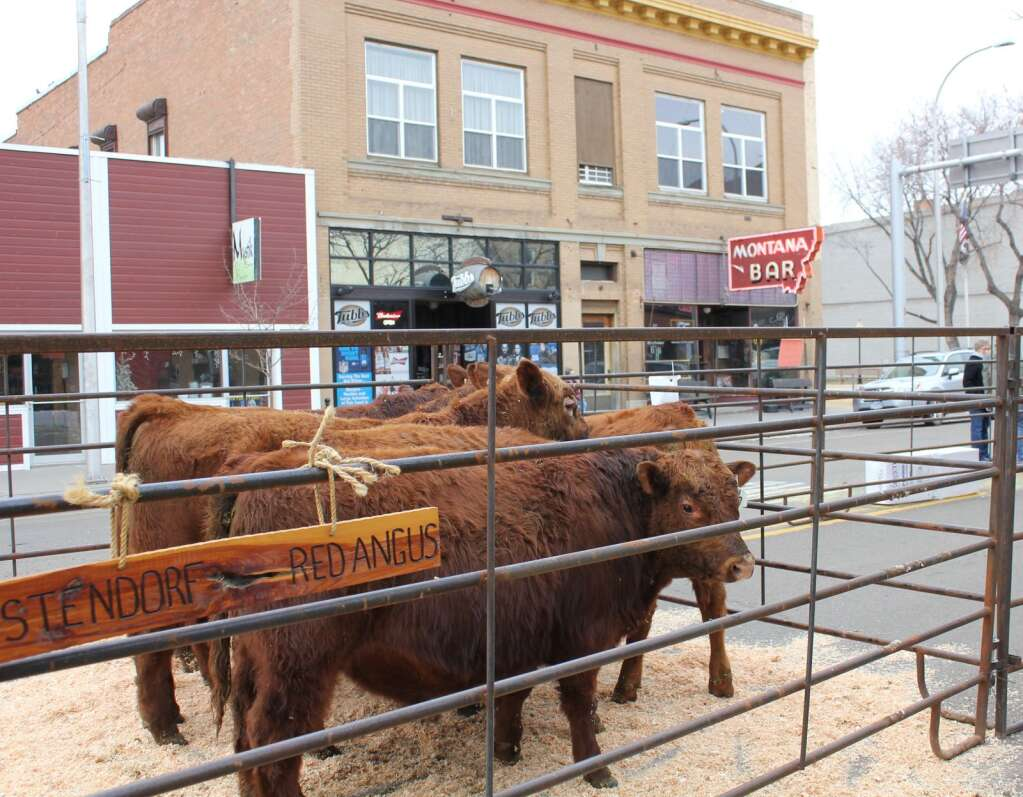 Ostendorf Red Angus unload their stock outside the historic Montana Bar. The Annual Cowtown Beef Breeders Show broat over 30 producers to downtown Miles City. Photo by Molly Jacobson