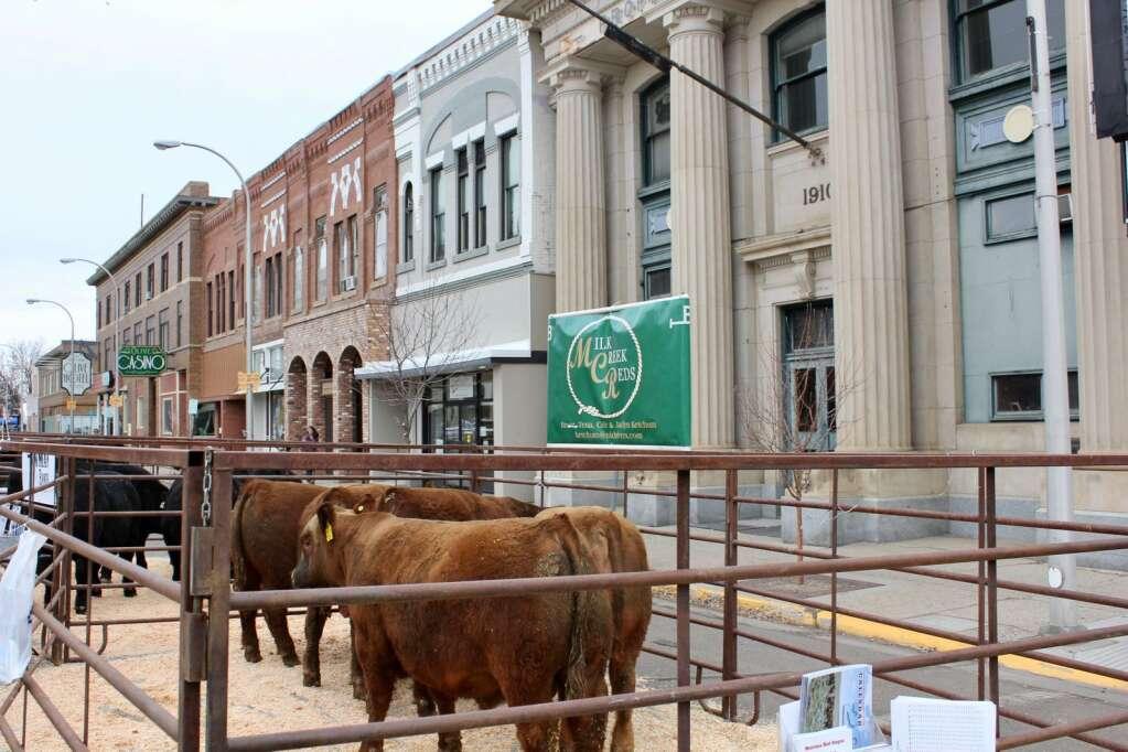 Cattle pens fill Main Street in Miles City. Photo by Molly Jacobson