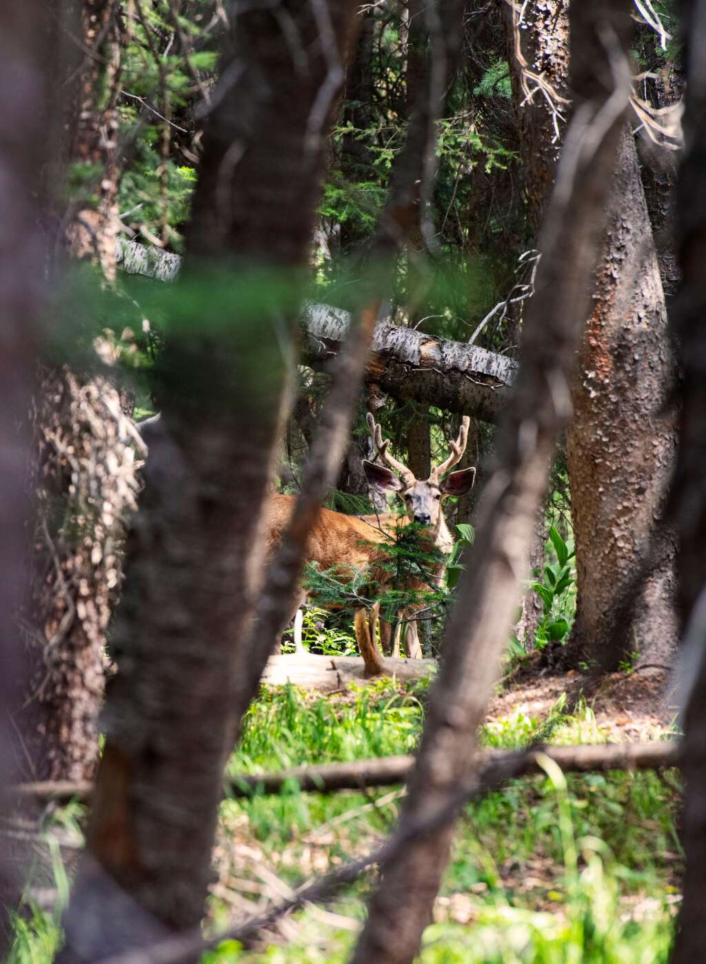 A buck peeks through fallen trees and brush inside of the proposed P15 trail of the Pandoras expansion on Aspen Mountain on Thursday, August 12, 2021. (Kelsey Brunner/The Aspen Times)