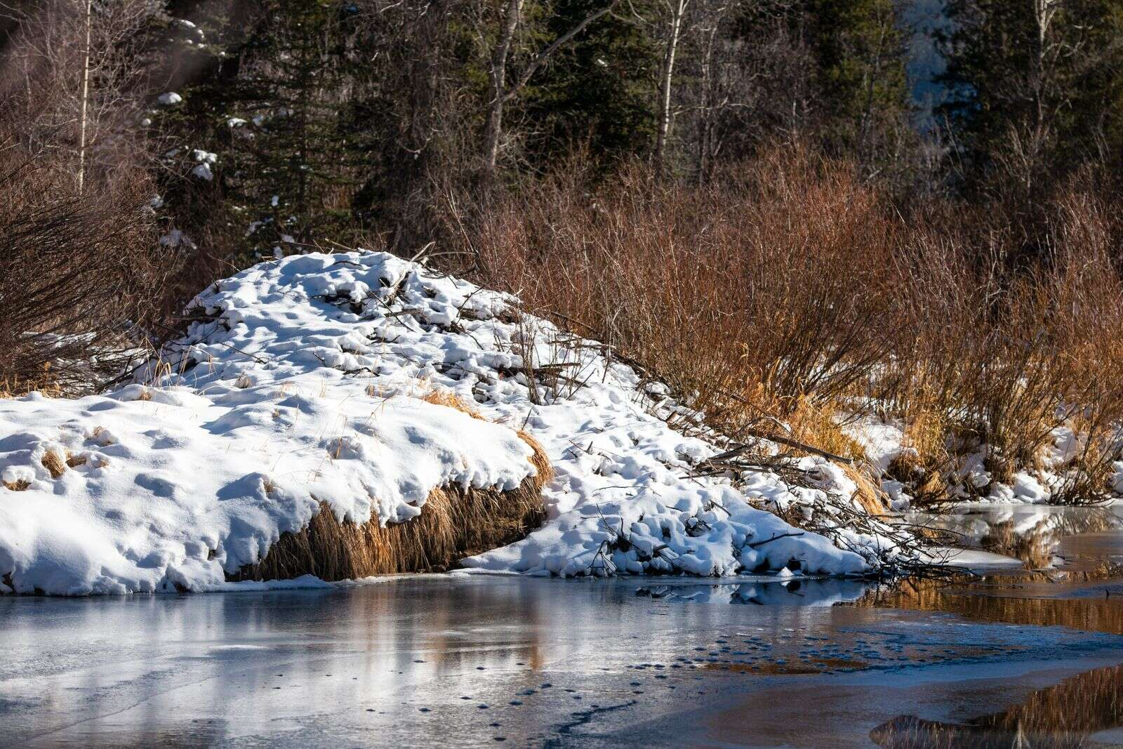 A beaver lodge protrudes into the Roaring Fork River in the Northstar Nature Preserve in Aspen on Friday, Dec. 4, 2020. A lodge houses a mated pair of beavers and their young. The young beavers live with their parents for two years. (Kelsey Brunner/The Aspen Times)