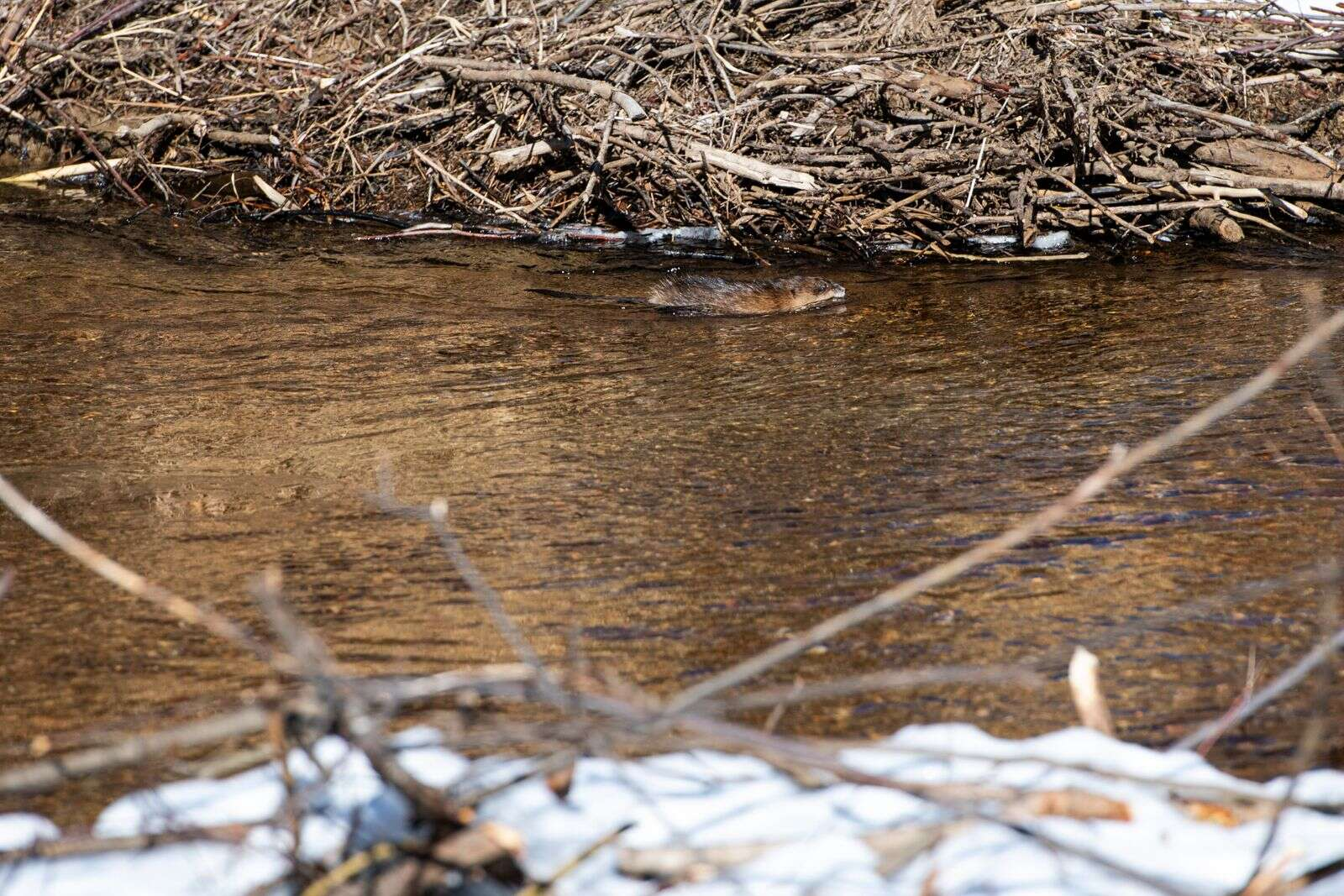 A muskrat swims downstream of a beaver dam in Northstar Nature Preserve on Friday, Dec. 4, 2020. (Kelsey Brunner/The Aspen Times)