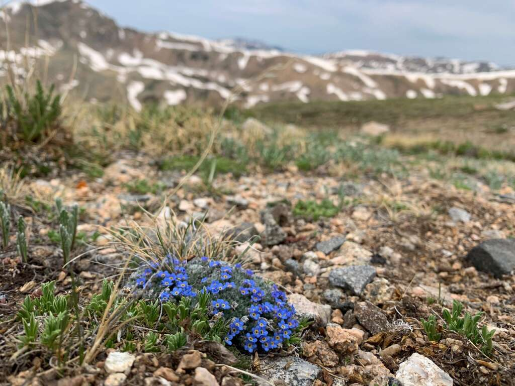 An Arctic Alpine Forget-Me-Not is pictured near the Straight Creek above the Eisenhower/Johnson Memorial Tunnels in June.   Photo by Emily Griffoul