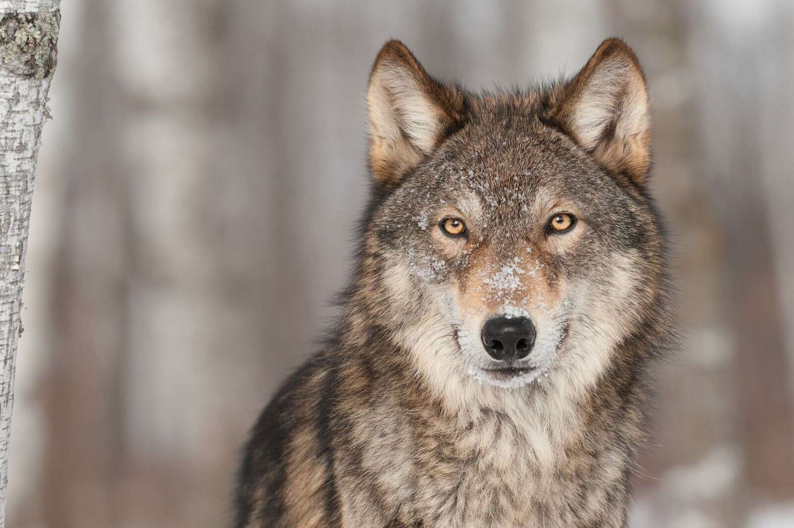 Colorado begins planning to reintroduce gray wolves