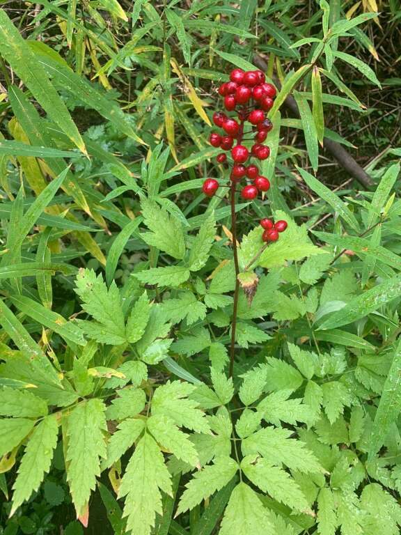 Red baneberry is pictured Aug. 19 at Lower Cataract Lake.   Karn Stiegelmeier/Eagle Summit Wilderness Alliance