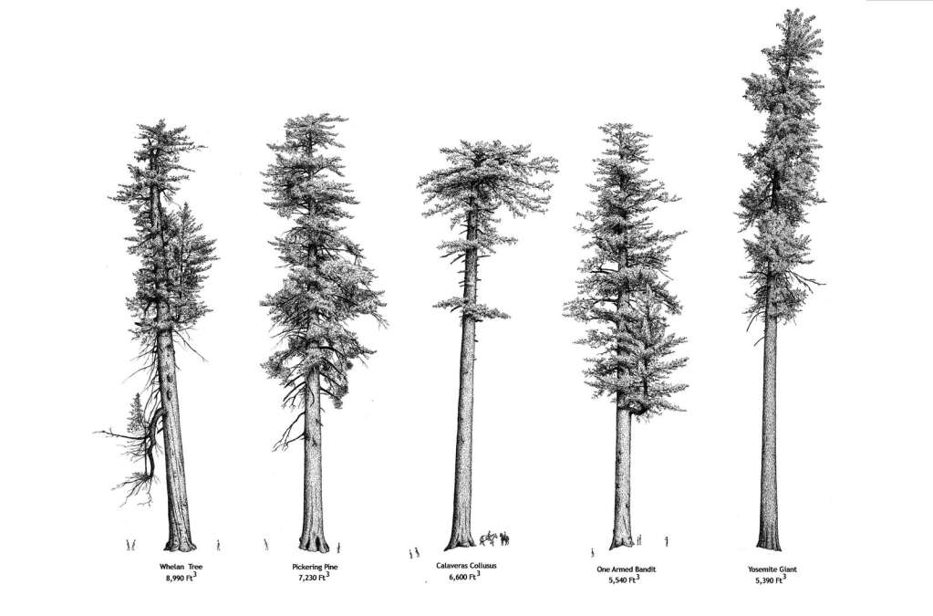 The Tioga Tower compared to other tall sugar pines, including the Whelan tree.