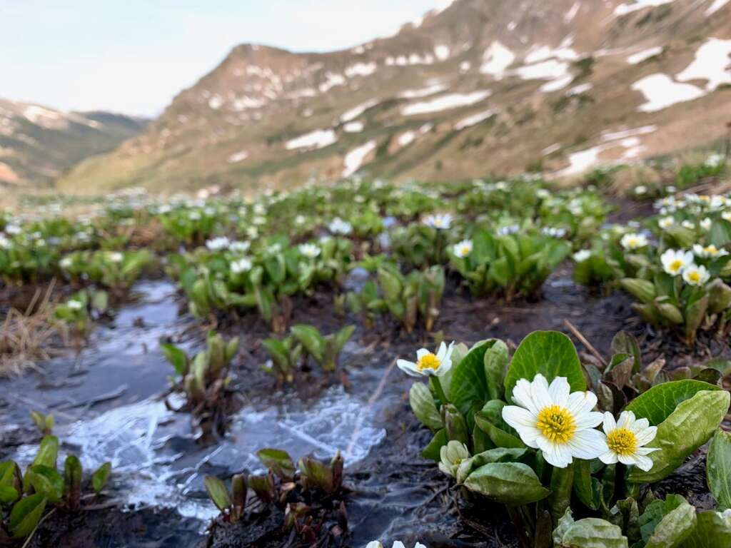 White marsh marigold is pictured June 18 near Straight Creek above the Eisenhower-Johnson Memorial Tunnels. | Photo by Emily Griffoul