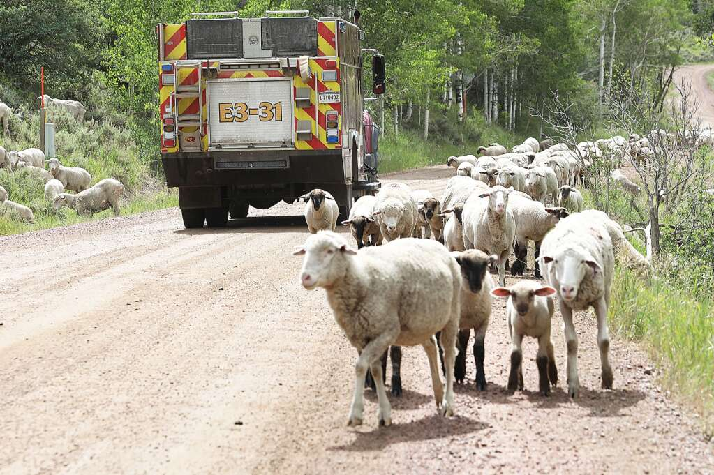 Firefighters battling the Muddy Slide Fire make their way through a flock of sheep Wednesday on Routt County Road 16. | John F. Russell/Steamboat Pilot & Today