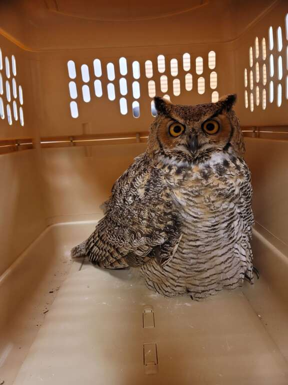 The rescued great horned owl didn't have any lasting injuries from flying into a fence and the wildlife refuge plans to release the owl by Tuesday.   Granby Police Officer Jake Fisher  / Courtesy photo