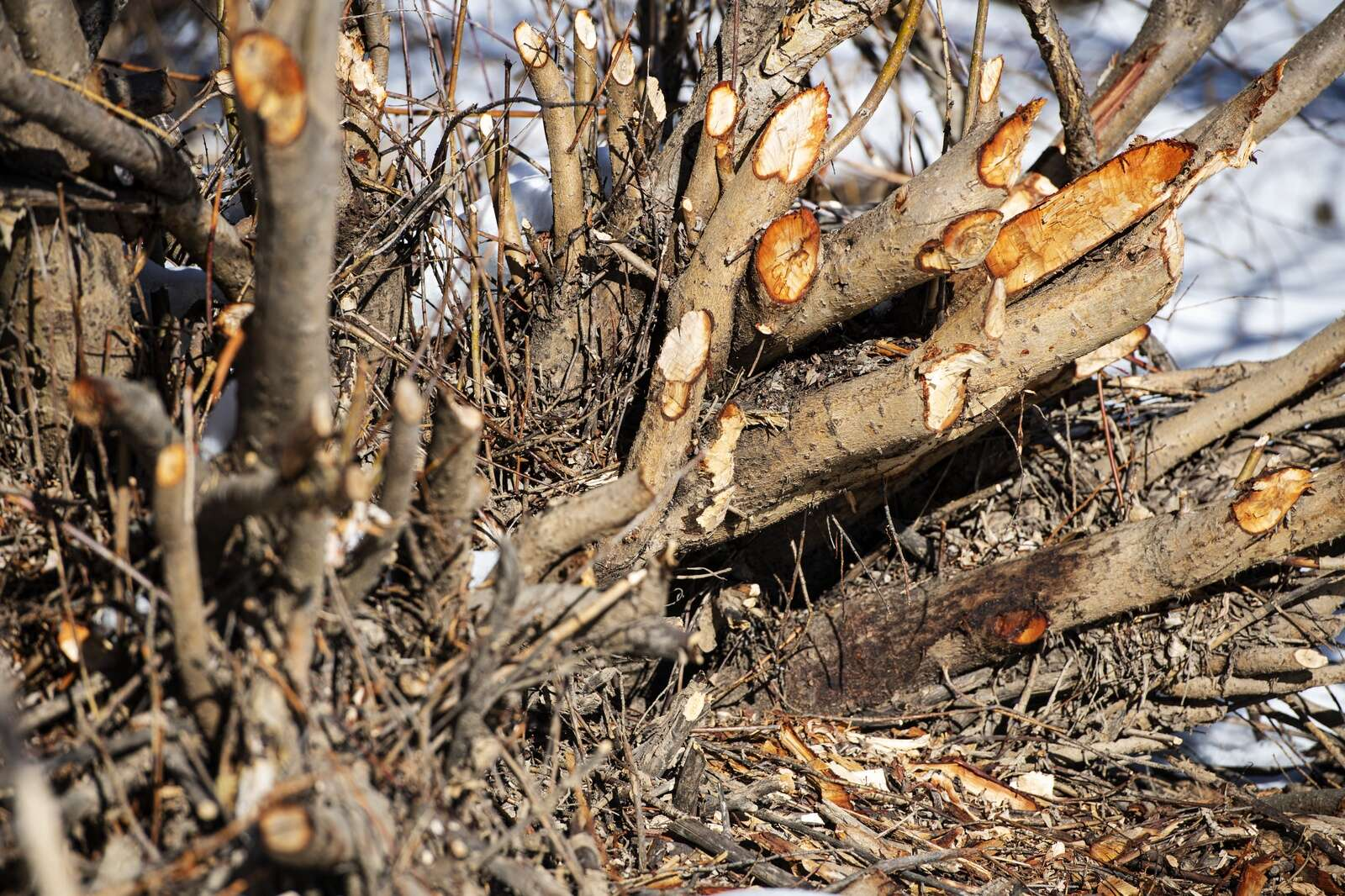 Beaver activity can be seen throughout Northstar Nature Preserve where the mammals have eaten the bark and chewed down branches.
