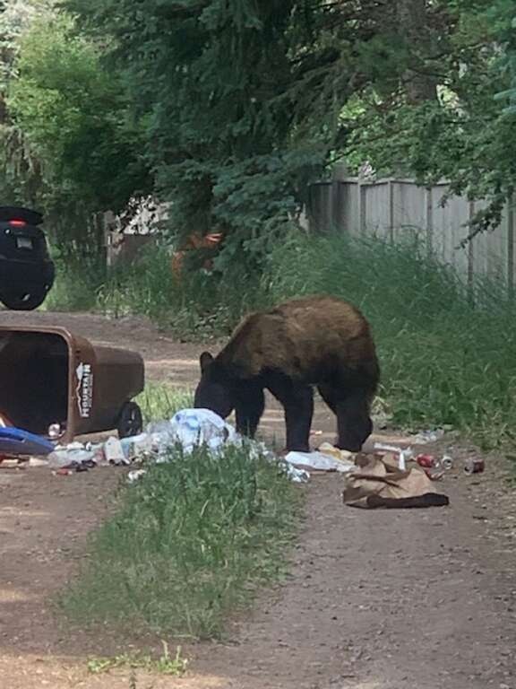 Black bears enjoy chowing down on the occasional trash-inspired meal in the West End neighborhood, as reader Alicia Goldsmith recently discovered. (Alicia Goldsmith/Special to The Aspen Times)