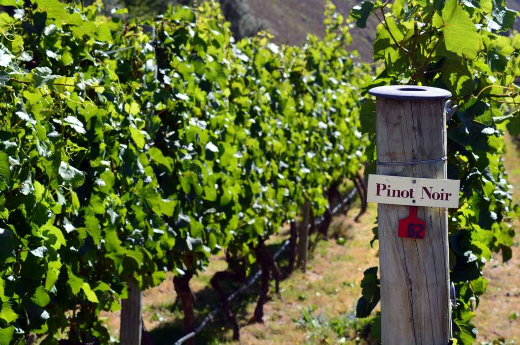 Pinot Noir sign on grape vine in Gibbston valley in Otago, south Island of New Zealand.