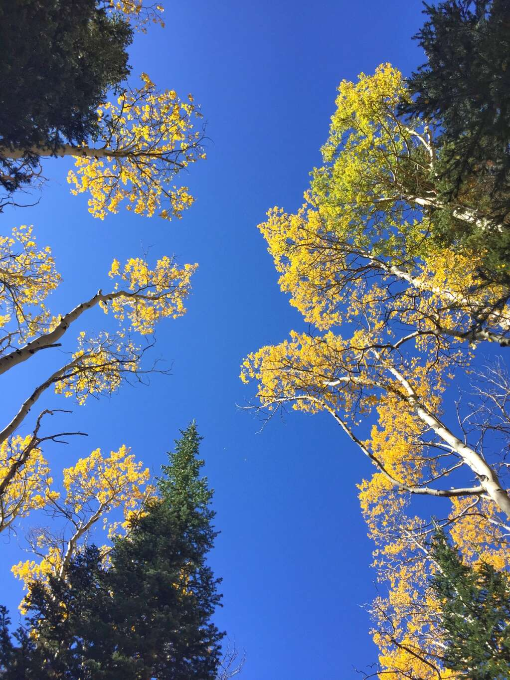 The aspens in the first section of the Mandall Lakes trail in the Flat Tops Wilderness light up in the fall.(Photo by Shelby Reardon)