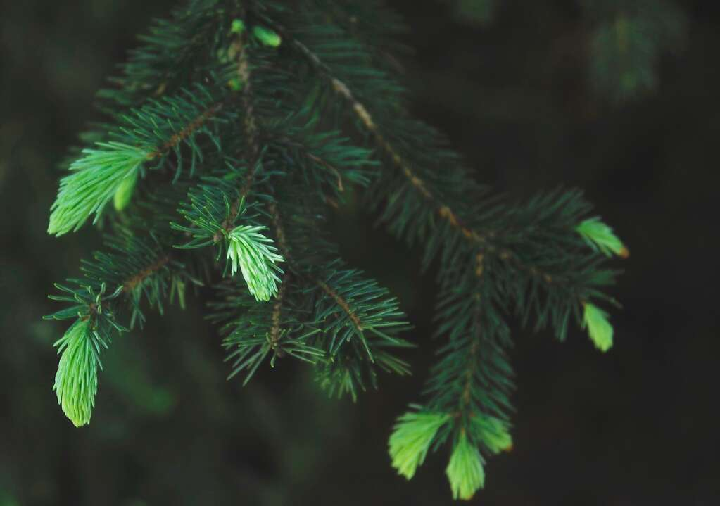 An evergreen tree sends off spurts of soft new needles along the Prospector Trail in North Routt. (Photo by Shelby Reardon)