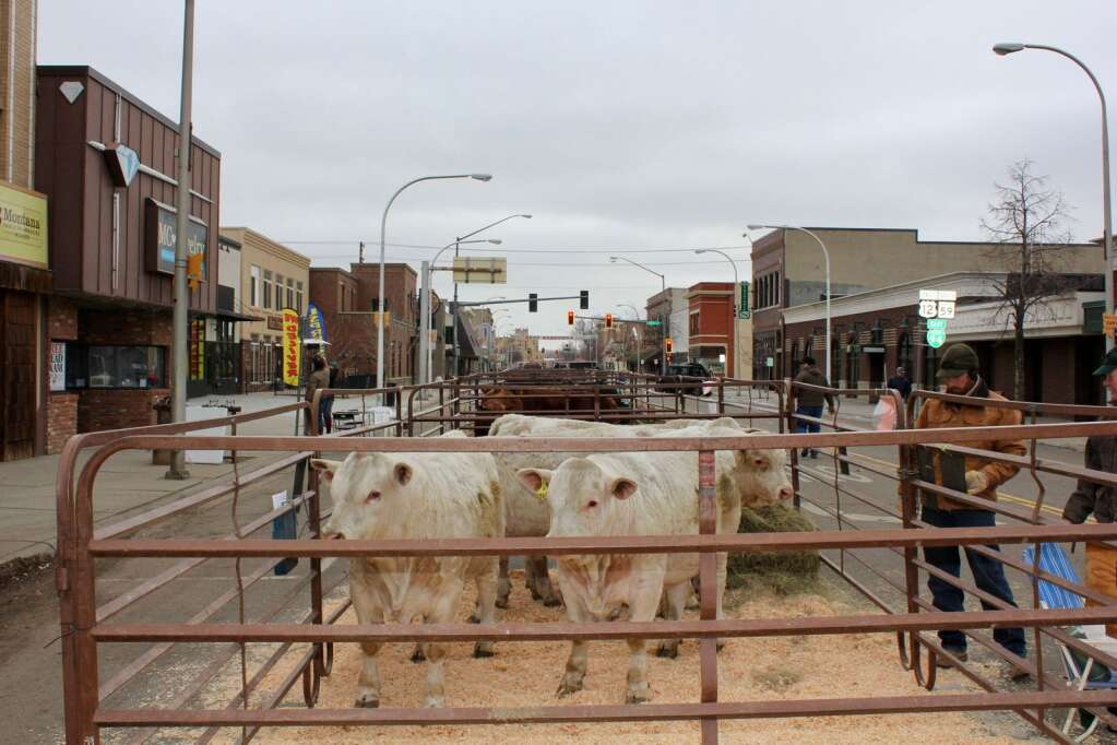 Cattle breeders showcase their bulls in downtown Miles City at the 29th Annual Cowtown Beef Breeders Show. Photo by Molly Jacobson