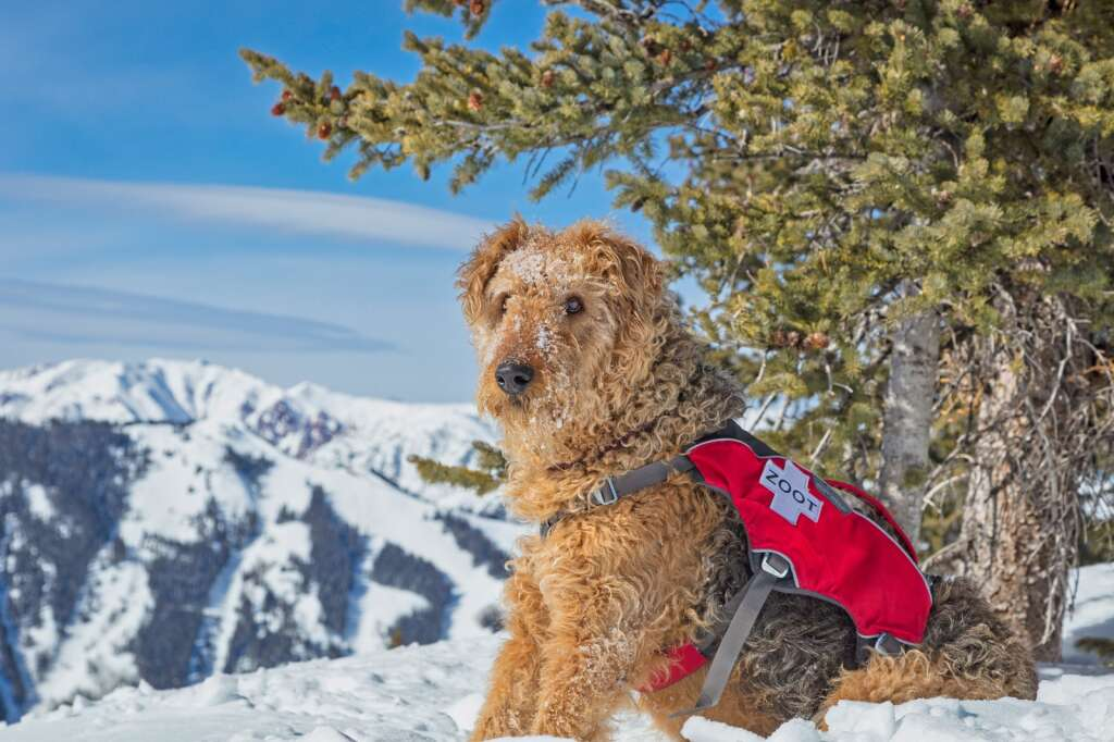 Aspen Mountain avalanche rescue dog Zoot stands watch on the mountain on Feb. 1, 2017. | Scott Brockmeier/Courtesy photo